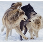 Alpha - wolves by John Banovich