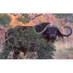 Black Gold - cape buffalo by John Banovich
