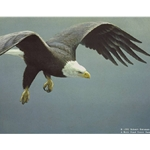 Approach - Bald Eagle by Robert Bateman