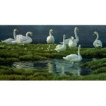 Bank of Swans - Mute Swans by Robert Bateman