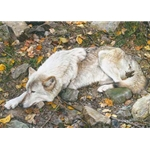 The Fall Guy - Tundra Wolf by wildlife artist Carl Brenders