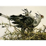 At the Nest - Secretary Birds by Robert Bateman
