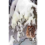 Asleep in the Hemlock - Screech Owl by Robert Bateman