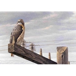At the Roadside - Red-tailed Hawk by Robert Bateman