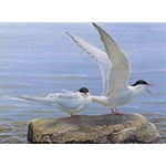 Arctic Tern Pair by Robert Bateman
