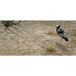 Blacksmith Plover by Robert Bateman