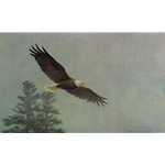 Bald Eagle Flying by Robert Bateman