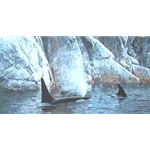Deep Water - Orcas by wildlife artist Ron Parker
