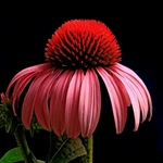Purple Coneflower by floral photographer Richard Reynolds