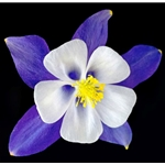 Columbine - Origami Blue by floral photographer Richard Reynolds