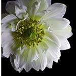 Anemone 2 - white blooming by floral photographer Richard Reynolds