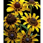 Brown Eyed Daisies - black eyed susan by floral photographer Richard Reynolds