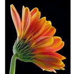 Gerbera Daisy by floral photographer Richard Reynolds
