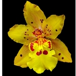 Orchid Odontocidium - Mayfair (yellow) by floral photographer Richard Reynolds