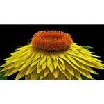 Strawflower - yellow by floral photographer Richard Reynolds