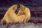 Polar Attraction - polar bears by Greg Beecham
