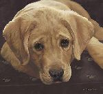 Best Loved Breeds: Yellow Labrador Retriever by John Weiss