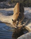 Evening Preparations - Cougar by wildlife artist Kyle Sims