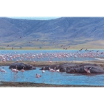 Beauties and the Beasts - flamingoes and hippos by John Banovich