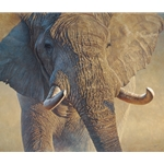 Big Ivory - portrait of elephant by John Banovich