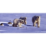 Caution in the Wind - polar bears by John Banovich