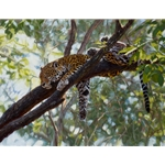 comfort in the Trees - jaguar by John Banovich