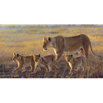 Joining the Pride - lioness and cubs by John Banovich