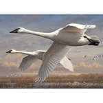 2016-2017 Federal Duck PRINT ONLY - Trumpeter Swans by Joe Hautman