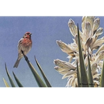 House Finch and Yucca by Robert Bateman