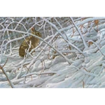 In the Brier Patch - Cottontail by Robert Bateman