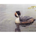 Great Crested Grebe by Robert Bateman