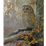 Tawny Owl in Beech by Robert Bateman