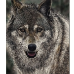 Stayin' Alive - Portrait of wolf by Judy Larson