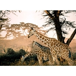 The High and the Mighty - Giraffes by wildlife artist Rod Frederick