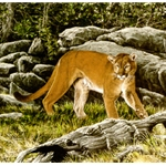 On the Alert - Mountain Lion by wildlife artist Chris Calle