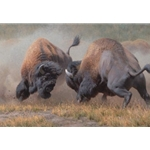 Summer Rumble - Bison bulls battling by wildlife artist Kyle Sims