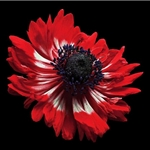 Anemone - red flower by floral photographer Richard Reynolds