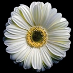 Gerbera Daisy 2 - White by floral photographer Richard Reynolds