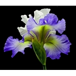 Tall Bearded Iris - Alizes by photographer Richard Reynolds