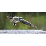 Catch of the Day - osprey and prey by artist John Bye
