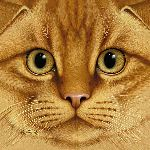Scottish Fold - Orange Tabby by Braldt Bralds