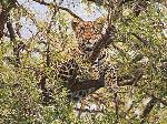 Lookout - Leopard by wildlife artist Simon Combes