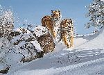 The Siberians - Siberian Tigers by wildlife artist Simon Combes