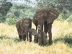 Family Ties - Elephant with young by wildlife artist Simon Combes