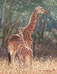 Staying Close - Rothschilde's giraffe and calf by wildlife artist Simon Combes