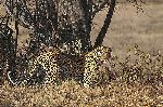 The Biggest Leopard by African wildlife artist Simon Combes