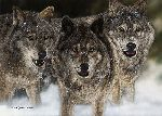 The Pursued - wolves by Judy Larson