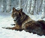 Undercover - Black Timber Wolf resting by wildlife artist Bonnie Marris