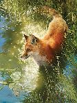 Out Foxed - Red fox by wildlife artist Bonnie Marris