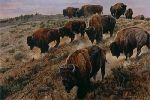 A Tricky Descent - Bison herd by wildlife artist Matthew Hillier